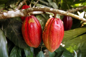 Cacao pods growing